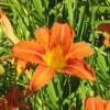 Hemerocallis, scheda di coltivazione