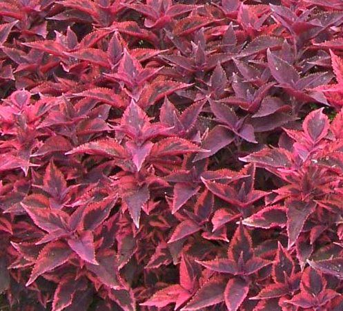 Piante Da Appartamento Foglie Rosse.Iresine Amaranthaceae Come Curare E Coltivare Le Piante Di Iresine