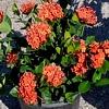 Ixora famiglia Rubiaceae, scheda di coltivazione