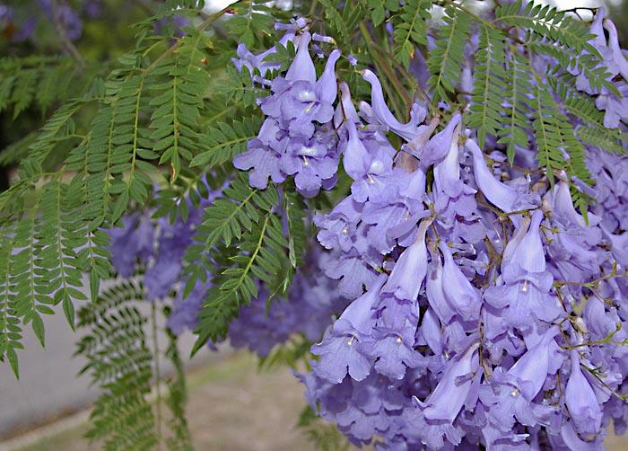 Fiori Jacaranda.Jacaranda Bignoniaceae Come Curare E Coltivare Le Piante Di