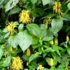 Jacobinia scheda di coltivazione