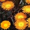 Lampranthus, scheda di coltivazione