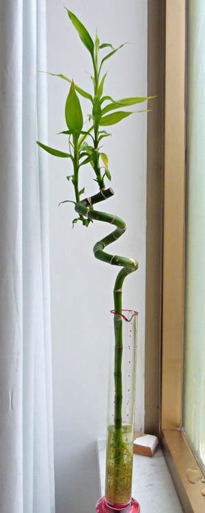 Piante Da Appartamento Bambu.Lucky Bamboo Dracaena Sanderiana Coltivazione E Cura Www