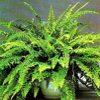 Nephrolepis famiglia Polypodiaceae scheda di coltivazione