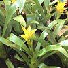 Nidularium, scheda di coltivazione