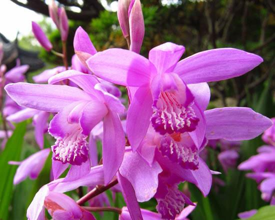 La Cina per agricoltura orchidee-Bletilla striata