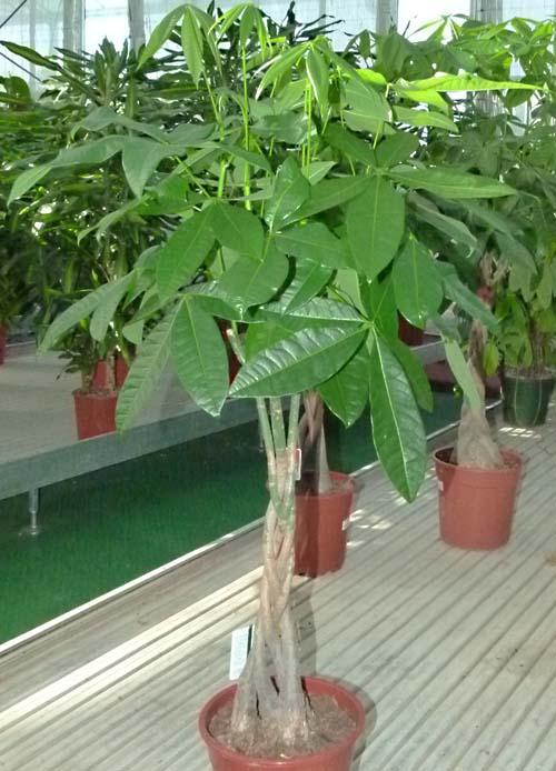 Piante Da Appartamento Intrecciate.Pachira Famiglia Bombacaceae Come Curare Coltivare E Far