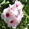 Pandorea,  famiglia Bignoniaceae , scheda di coltivazione