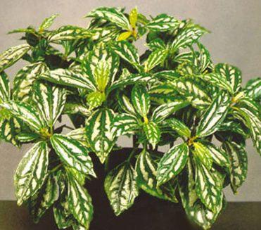 http://www.elicriso.it/it/come_coltivare/pilea/pilea_cadierei.jpg
