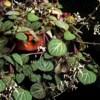 Plectranthus, scheda di coltivazione