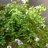 Plumbago, scheda di coltivazione