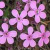 Saponaria, scheda di coltivazione
