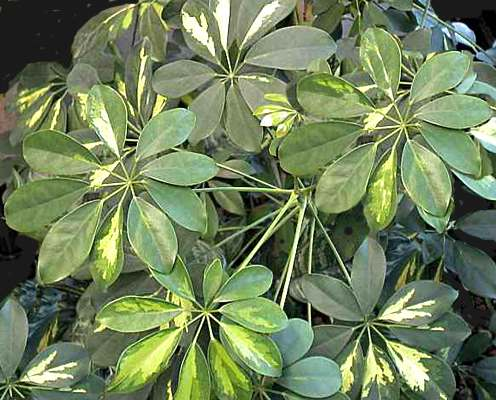 Piante Verdi Da Appartamento Foto E Nomi.Schefflera Apiaceae Come Curare Coltivare E Far Fiorire Le