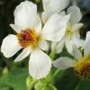 Sparmannia, scheda di coltivazione