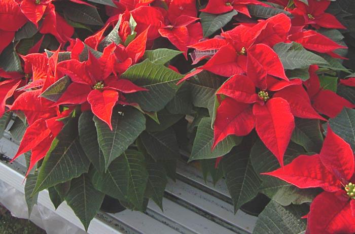 Stella Di Natale Foglie Gialle.Stella Di Natale Euphorbiaceae Come Curare Coltivare E Far
