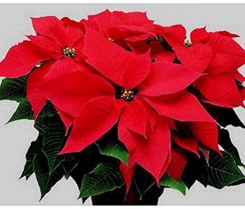 Stella Di Natale Cura E Manutenzione.Stella Di Natale Euphorbiaceae Come Curare Coltivare E Far