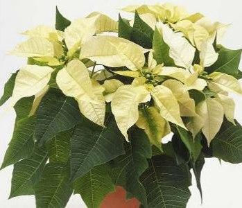 Come Mantenere Stella Di Natale.Stella Di Natale Euphorbiaceae Come Curare Coltivare E Far