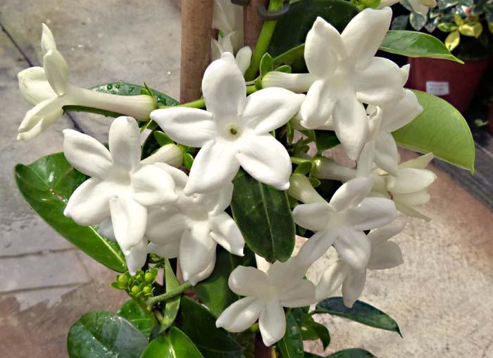 Pianta Da Appartamento Con Fiori Bianchi.Stephanotis Apocynaceae Coltivazione E Cura Della Stephanotis