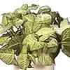 Syngonium, scheda di coltivazione