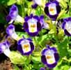 Torenia, famiglia Scrofulariaceae, scheda di coltivazione