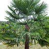 Trachycarpus, scheda di coltivazione