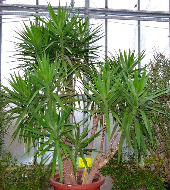 Fiori Yucca.Yucca Agavaceae Come Curare Coltivare E Far Fiorire Le Piante