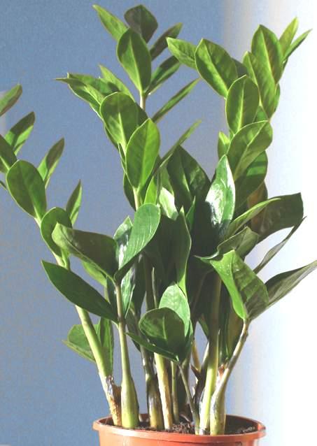 Piante Verdi Da Appartamento Zamioculcas.Zamioculcas Araceae Come Curare Coltivare E Far Fiorire Le