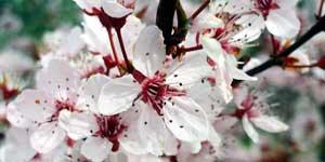 Cherry plum, Mirabolano, Prunus, Fiore di Bach
