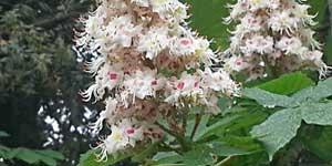 Chestnut bud, Ippocastano, Fiore di Bach