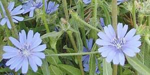 Chicory, Cicoria, Fiore di Bach