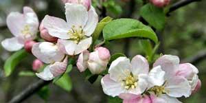 Creb Apple, Malus pumila,  Fiore di Bach