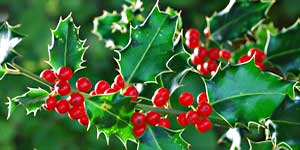 Holly, Fiore di Bach