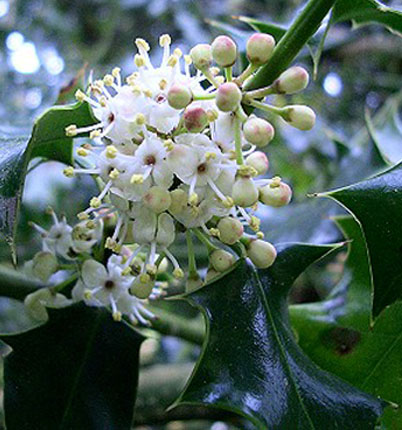 Holly, fiori di Bach