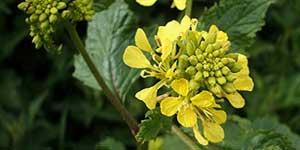Mustard, Fiore di Bach