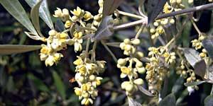 Olive, Fiore di Bach
