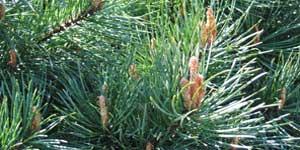 Pine, Fiore di Bach