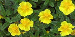 Rock rose, Fiore di Bach