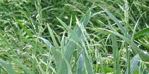 Wild oat, Fiore di Bach