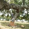 Quercus suber, Quercia da sughero, foto e fotografie
