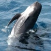 Globicefali, delfini balena