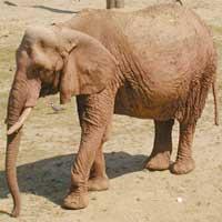 L'elefante africano  vita e abitudini