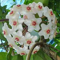 Hoya, la pianta dai fiori di cera