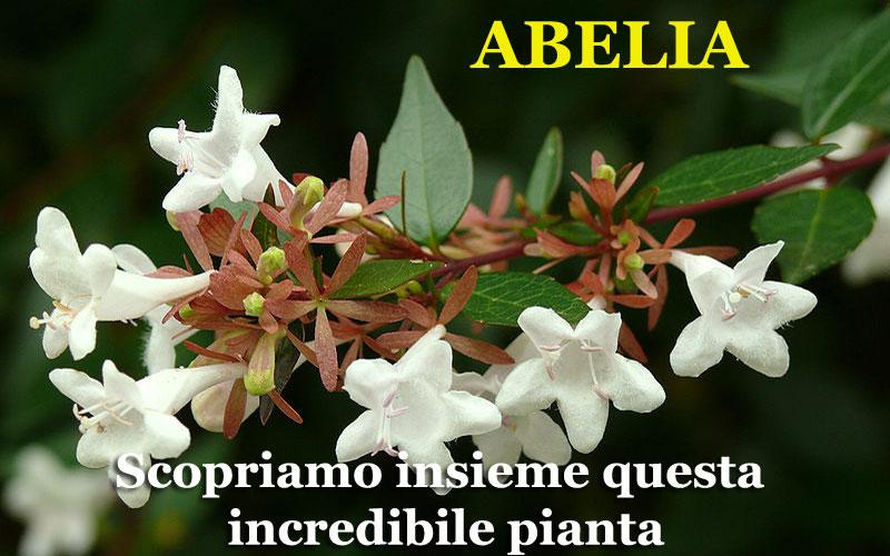 Come coltivare la Abelia
