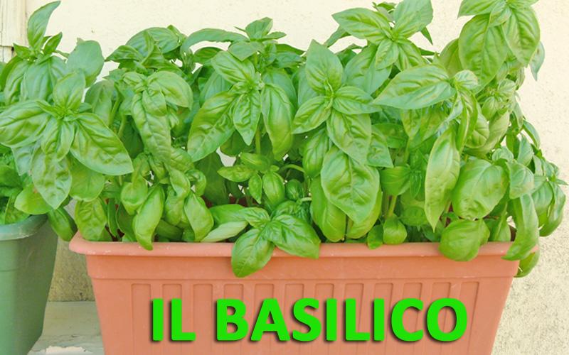 Basilico: semi, crescita pianta, fioritura e come farlo durare molto a lungo