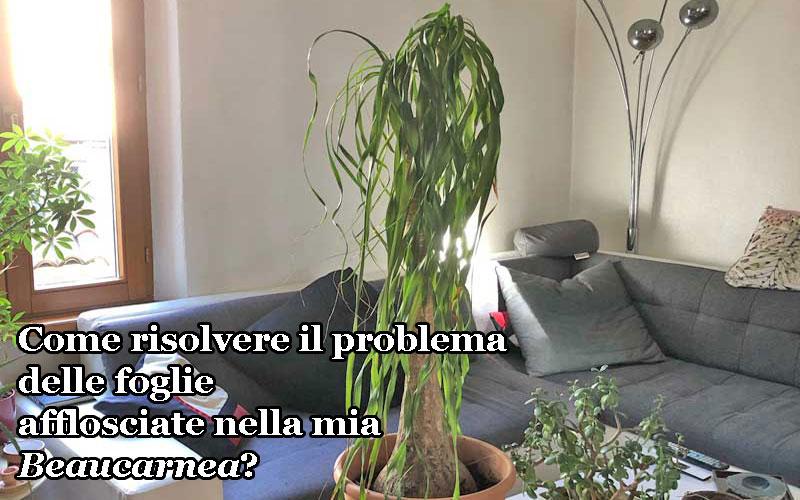 Problemi di coltivazione con la Beaucarnea