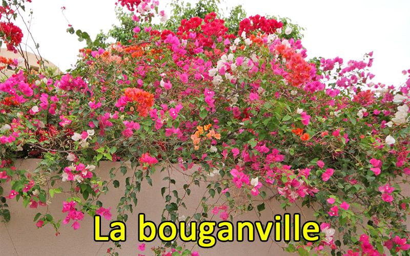 Coltivazione, cura e fioritura della bouganville