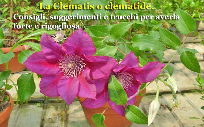 Clematis o clematide