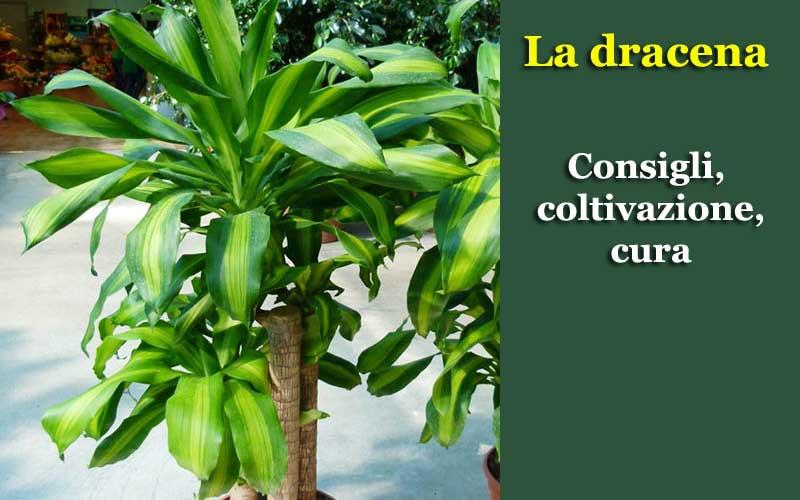 Dracena coltivazione e cura
