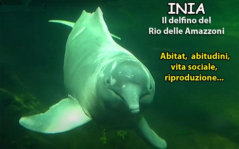 Inia o delfino del rio delle amazzoni