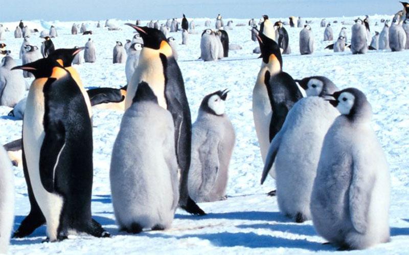 Il pinguino imperatore, vita, abitudini, dove vive